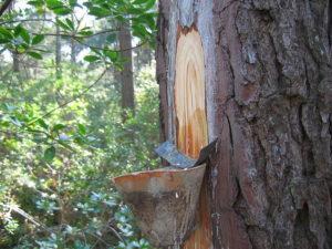 résine de pin récolte