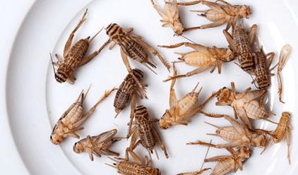 Survivalisme: élevage d'insectes