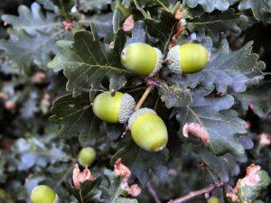 alimentation glands de chênes