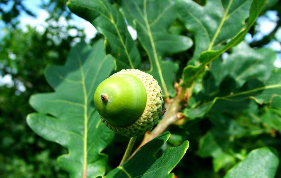 Alimentation survivaliste : les glands de chênes
